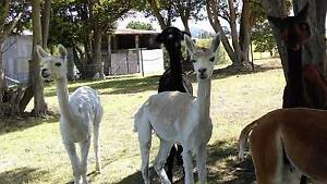 Alpacas for sale x 3 Tenterfield Tenterfield Area Preview
