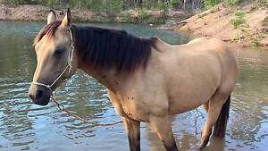 Buckskin Mare 6 years old Takura Fraser Coast Preview