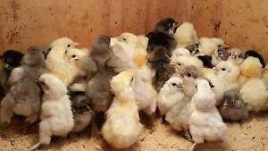 Day old purebred Chickens Para Hills West Salisbury Area Preview