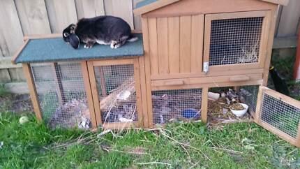 Rabbit Cage with 1 Female Pregnant Black Otter Mini Lop FOR SALE Carrum Downs Frankston Area Preview