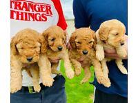 F2 cockapoo pups