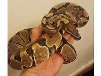 Royal python (het albino)