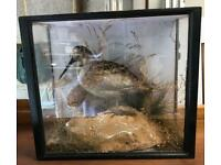 Antique taxidermy wading bird in a glazed wooden case