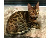 LOST Female Neutered Bengal