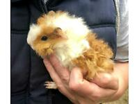 Baby Lunkarya guinea pigs