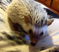 6 month old hedgehog
