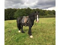 Gorgeous Cob Mare for sale!!