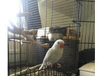 Blue and white baby indian Ringneck parrot for sale