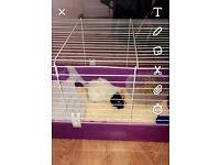 Guinea pig free to a good home.