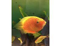 Severus fish