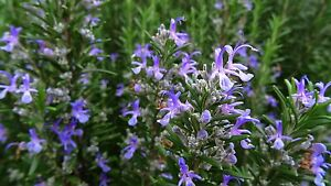 Rosemary Barbeque herb plant aromatic leaves blue flowers bees evergreen 9cm pot
