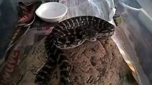 coastal carpet python yearlings Wavell Heights Brisbane North East Preview