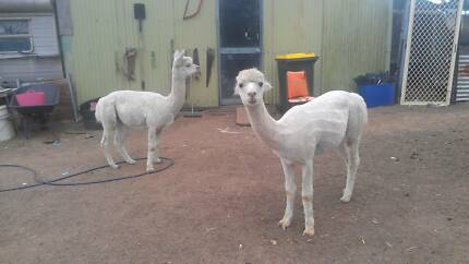 2 entire male alpacas Glenore Grove Lockyer Valley Preview