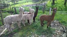 Alpaca Wethers Springfield Lakes Ipswich City Preview