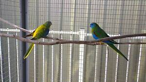Turquoise parrot babies - for sale - reserving now Mindarie Wanneroo Area Preview