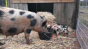 Berkshire x pigs for sale Hoddles Creek Yarra Ranges Preview