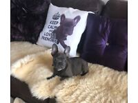 FRENCH BULLDOG SOLID BLUE MALE PUPPY