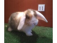 baby minilop rabbits for sale
