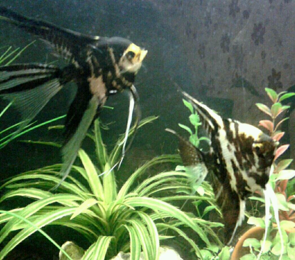 2x angelfish koi tropical fish in leicester for Exotic koi fish