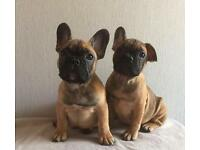 Coby true to type KC reg French bulldog puppy's