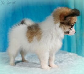 Stunning Health Tested Female Papillon Puppy