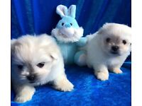 Cuddly cute Maltese x cross puppies small unusual lap sized dog fluffball