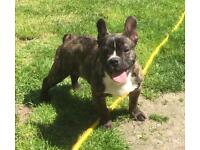 French bulldog puppy boy KC registered for re-homing