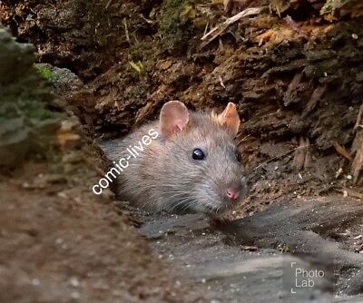 """WILD BROWN RAT Photograph Print 7""""x5"""" Glossy New Photo Rodent"""