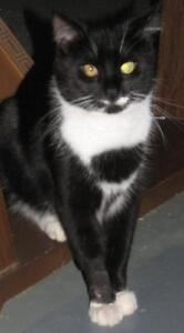 "Adult Male Cat - Domestic Short Hair-black and white: ""Jimmy J"""