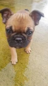 Two Quality Kennel Club Registered French Bulldog Pups