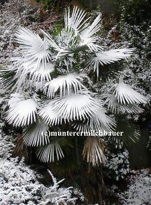 3 hanfpalme trachycarpus germanica winterharte selektion. Black Bedroom Furniture Sets. Home Design Ideas