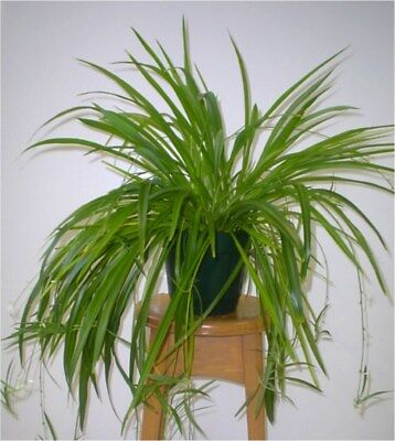 SPIDER PLANT LARGE -GREEN- Airplane Plant - Air Cleaner - - Large Spider