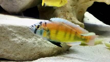 Flame back and Mphanga Cichlids Brendale Pine Rivers Area Preview