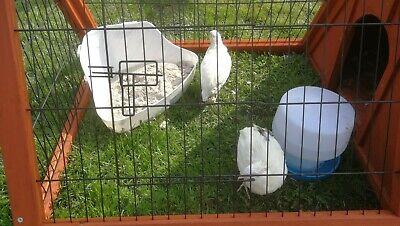 24 Japanese quail  Hatching Eggs for sale. Excellent fertility