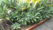 Agaves for Sale Wamuran Caboolture Area Preview