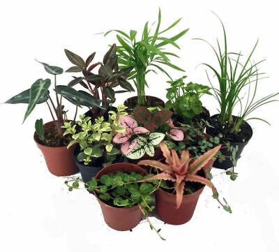10 Plants Terrarium & Fairy Garden Live Plant 2