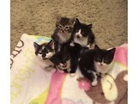 Sweet little black and white kittens looking for a loving family home