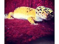Pedro - Male leopard gecko.