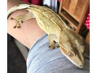 Male and female crested geckos and set up