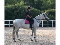 16'2 ****IRISH SPORTS HORSE******