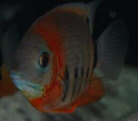 RED NECK SEVERUM TROPICAL FISH CICHLID