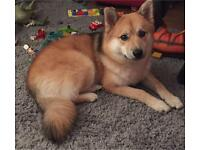 Pomsky needing loving home