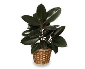 Looking for a rubber plant