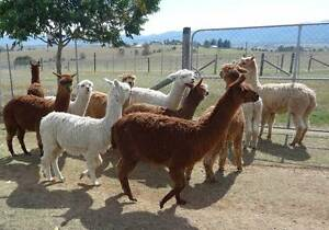 Alpacas - Wethers, Guards and Pets! Biarra Somerset Area Preview