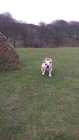 reg british bull dog