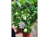 Passion fruit plants