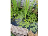 pond lillies for sale