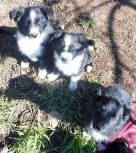Border Collie Puppies For Sale Oberon Oberon Area Preview