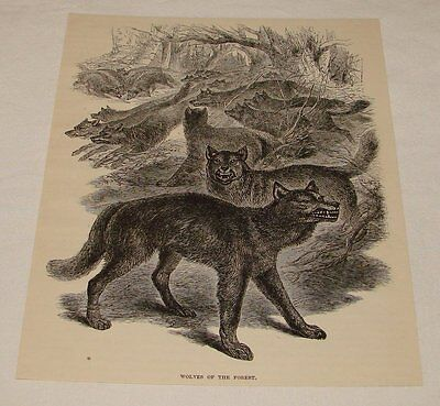 1891 magazine engraving ~ WOLVES OF THE FOREST