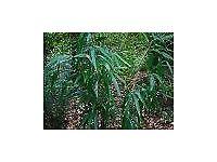 Bamboo Plant Pseudosasa japonica 'Akebonosuji' 5 litre